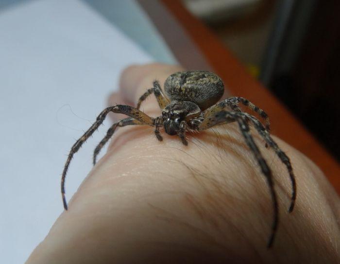Pet Spider (5 pics)