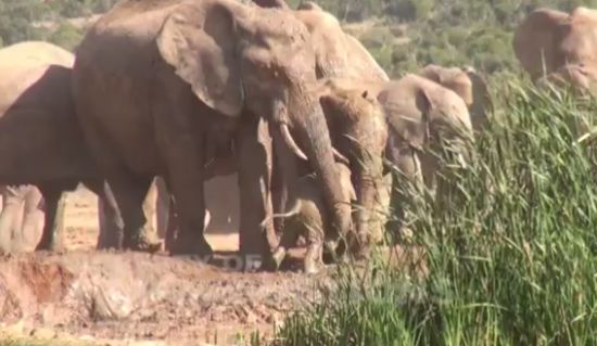 Mother Won't Leave Baby Elephant in Trouble