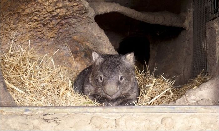 World's Oldest Wombat (5 pics)