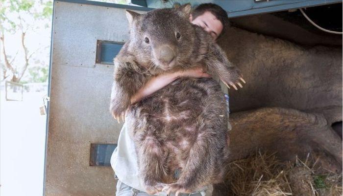World's Oldest Wombat (5 pics)
