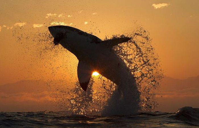 Great White Shark Silhouette (7 pics)