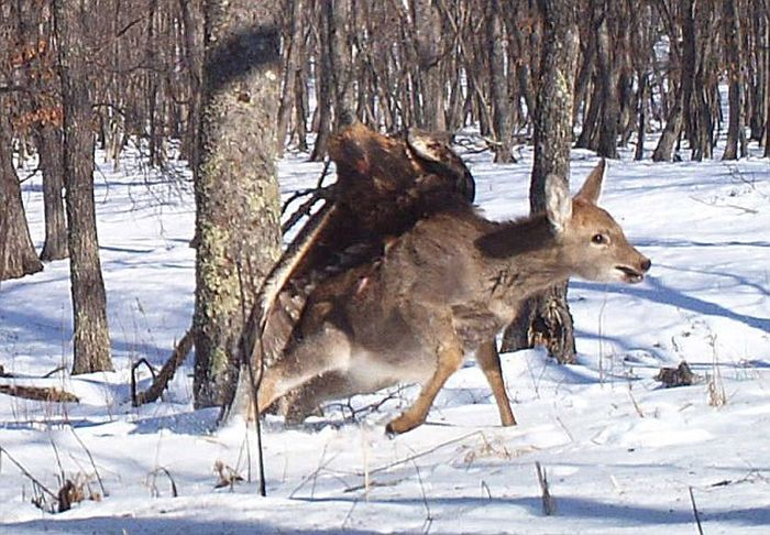 Golden Eagle Flies Off with a Deer (7 pics)