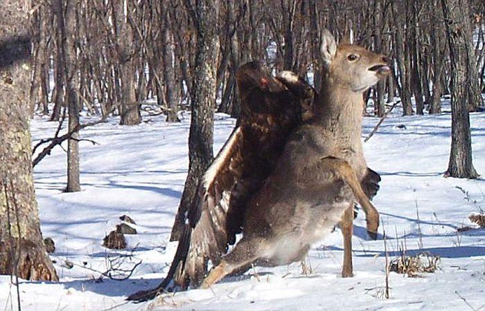 Golden Eagle Flies Off with a Deer (7 pics)