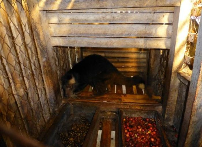 The Production of Kopi Luwak Coffee (10 pics)