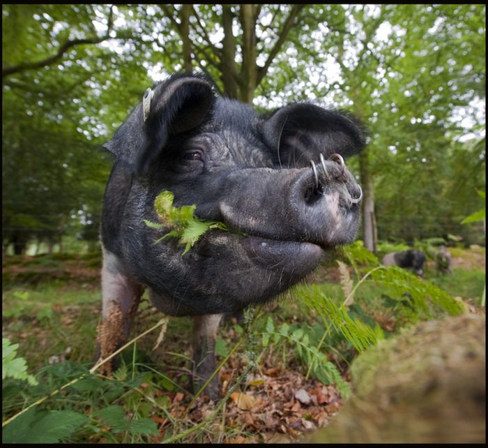 Pigs of the New Forest (6 pics)