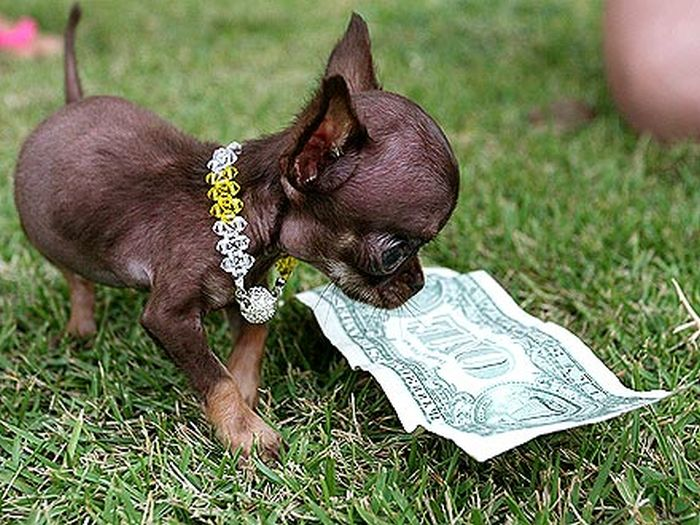 Chihuahua Milly is the World's Smallest Dog (10 pics)