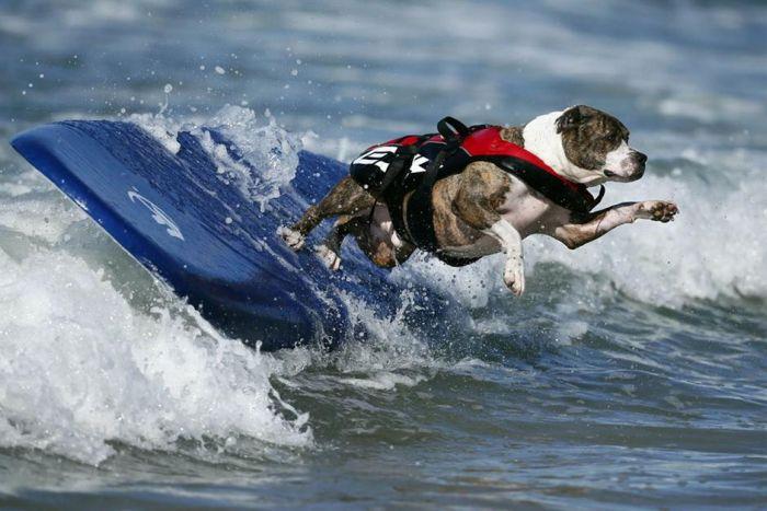 Dog Surfing (18 pics)