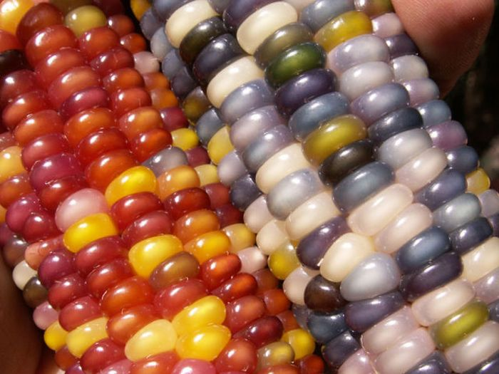 Colored Corn (11 pics)