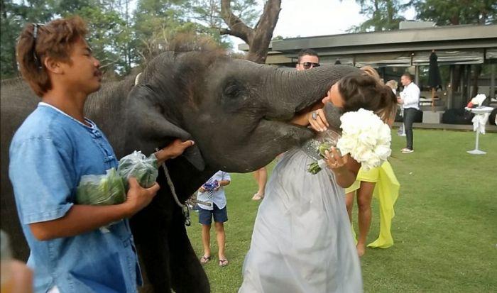 Elephant Kissed the Bride (7 pics)