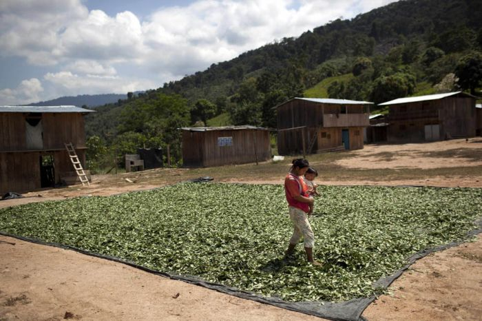 Coca Farmers in Peru (15 pics)