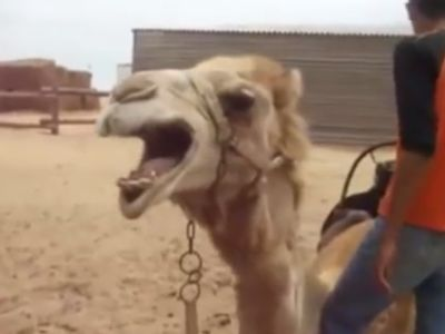 Death Metal Camel
