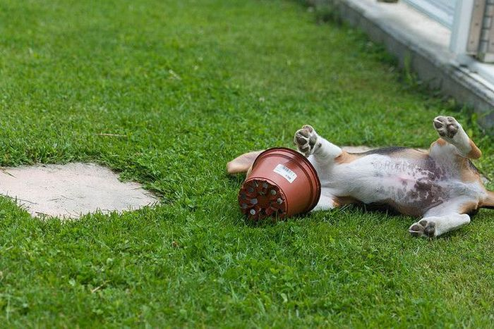 Dog vs Flower Pot (4 pics)