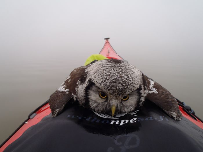 Owl Rescued (3 pics)
