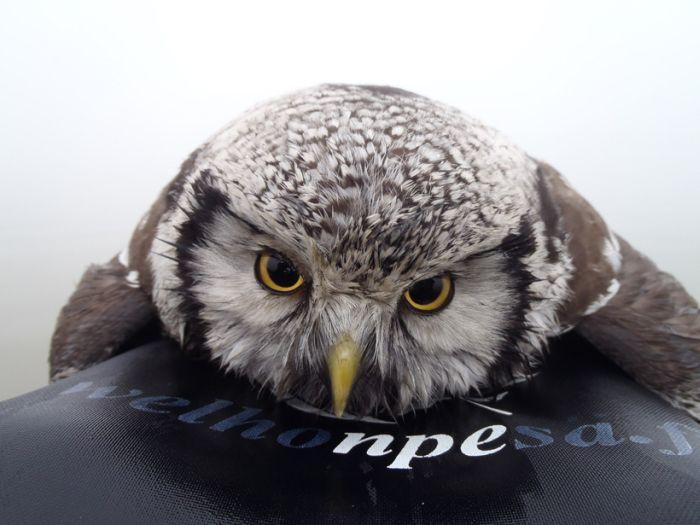 Owl Rescued (3 pics)