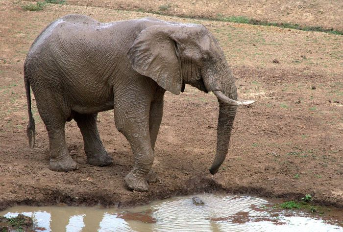 How The Elephant Got His Trunk (4 pics)
