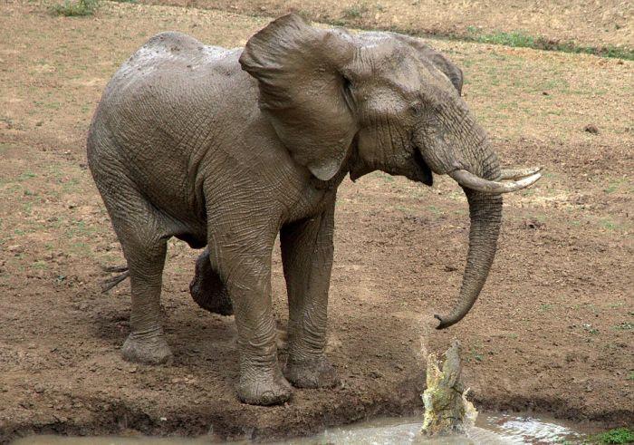 How The Elephant Got His Trunk (4 pics)