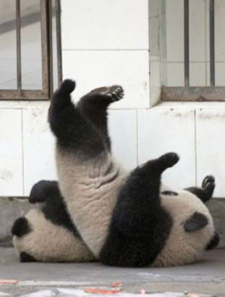 Panda Falls Down (5 pics)