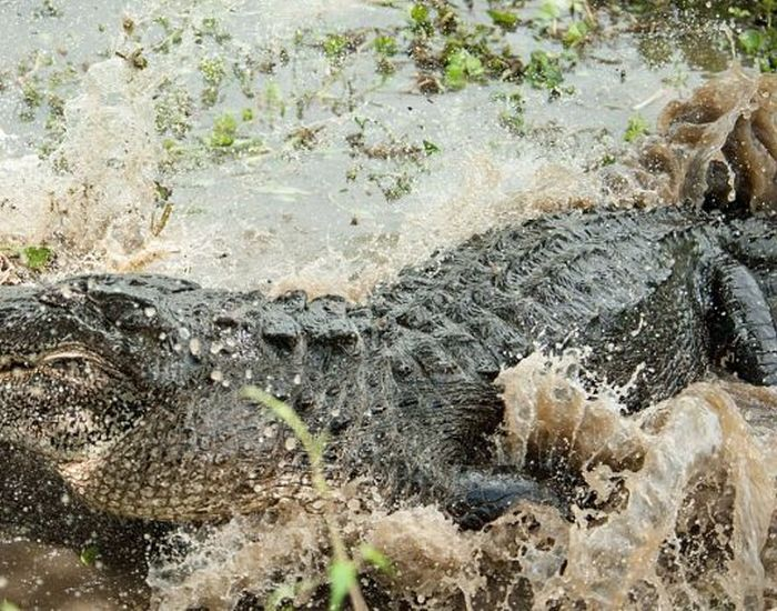Alligator Eats Alligator (6 pics)