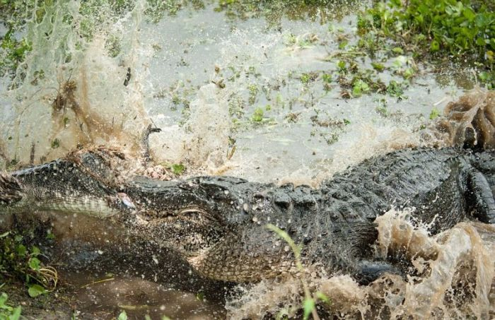 Alligator Eats Alligator (6 pics)