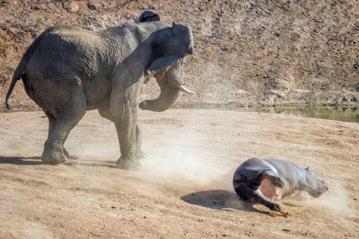 Elephant Attacks a Hippo Mom (10 pics)