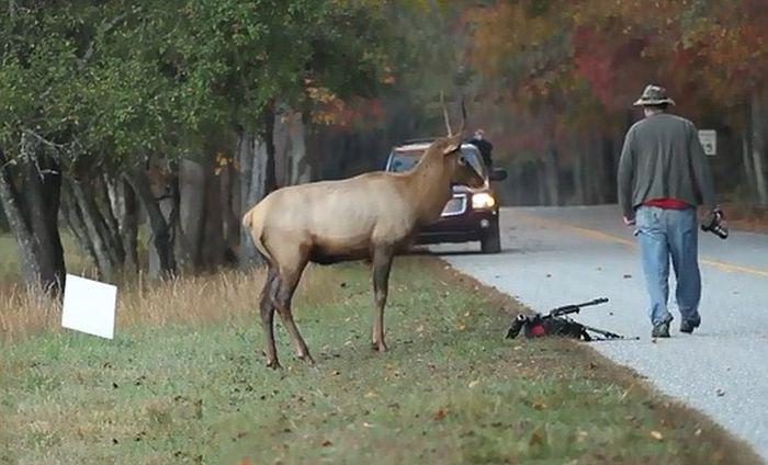 Elk Attacks a Photographer (6 pics)