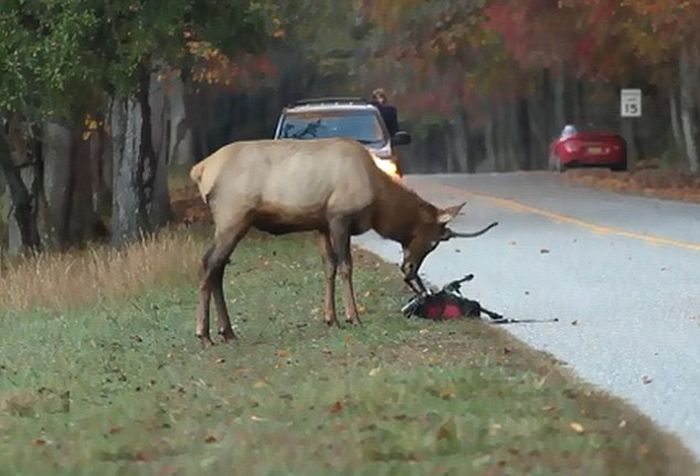 Elk Attacks a Photographer (6 pics)