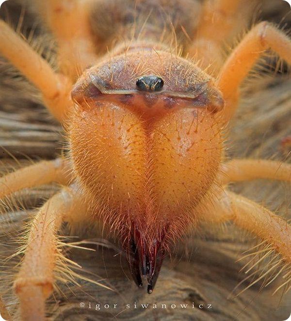 Camel Spiders (20 pics)