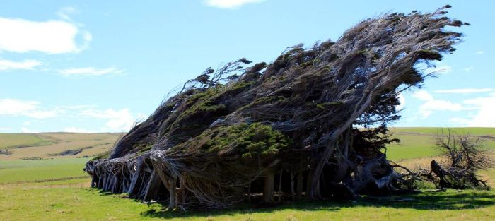 Trees Shaped into Beautiful Form by Winds (17 pics)