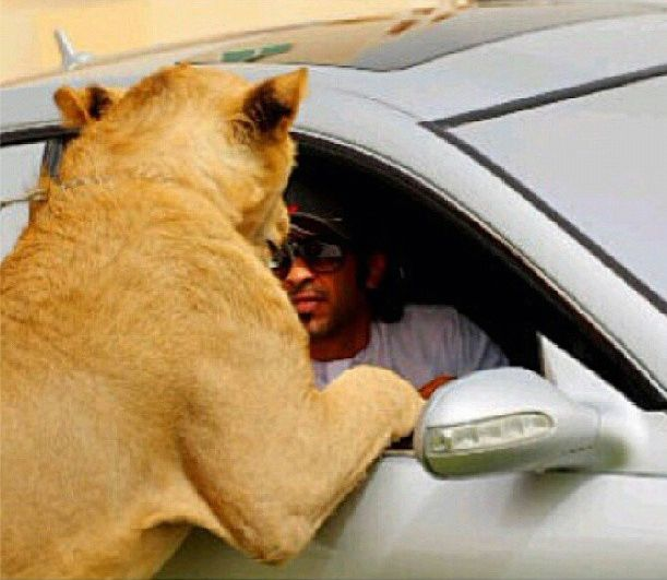 The Rich Guys With Lions (36 pics + video)