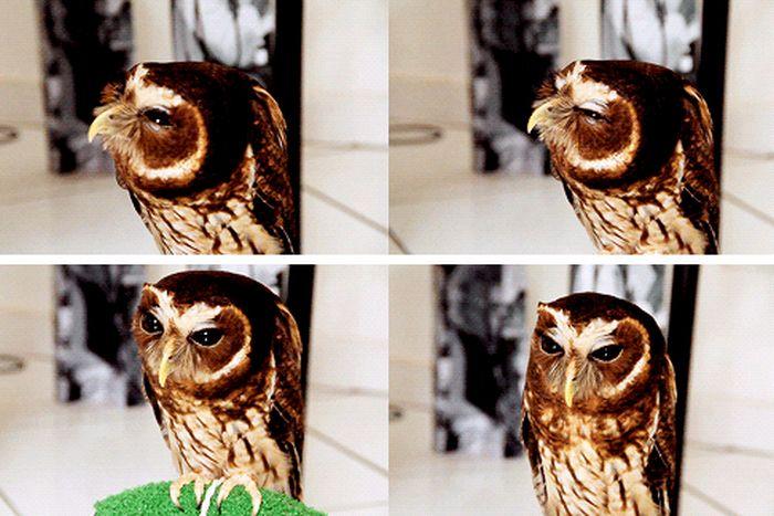 Cute Owl (6 gifs)