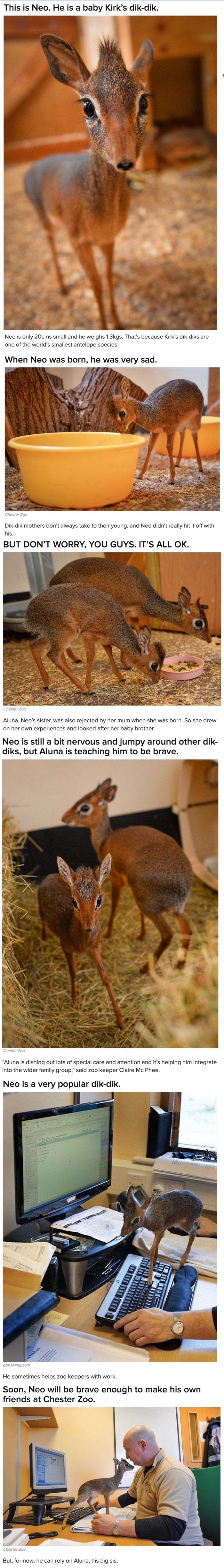 Incredible Story of Neo the Tiny Antelope