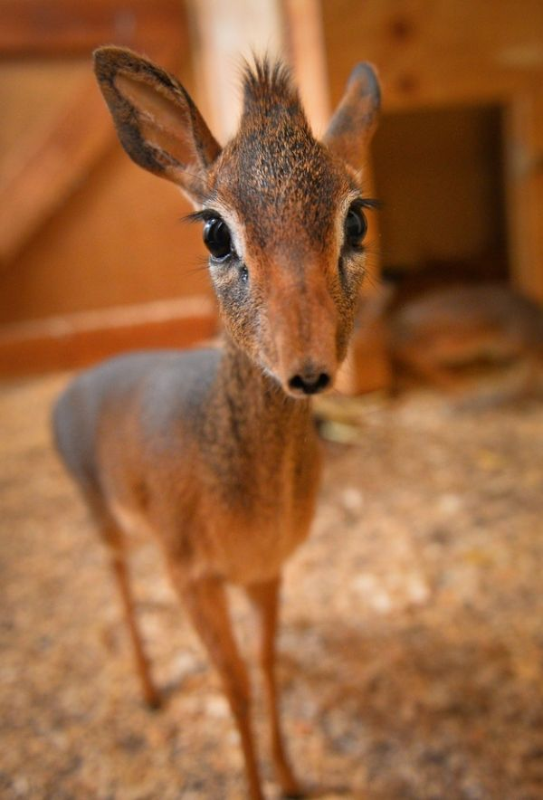 Neo the Tiny Antelope (4 pics)