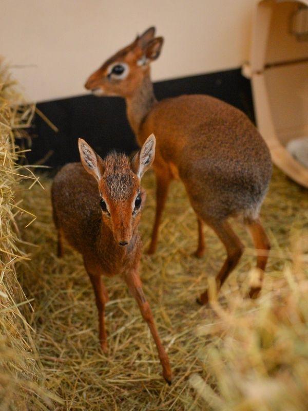 Neo the Tiny Antelope (4 pics)