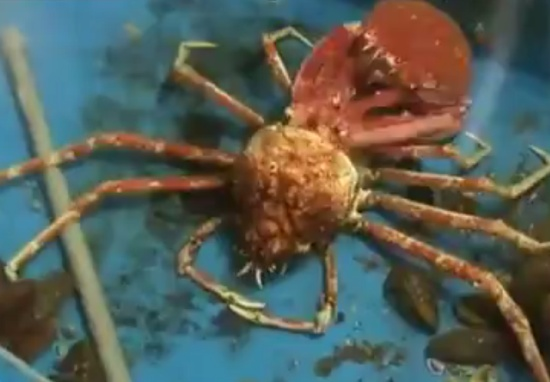 How Crab Loses Its Shell