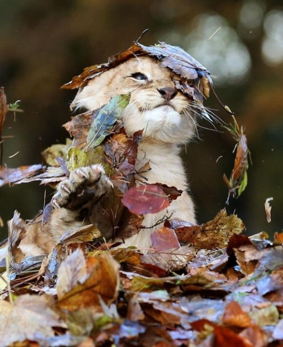 Lion Cub Playing in Leaves (6 pics)