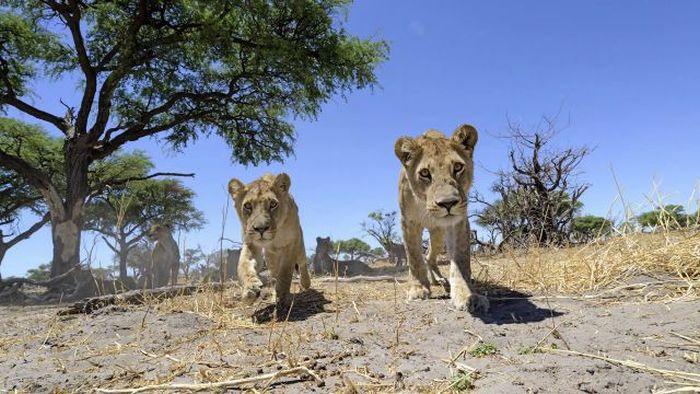Lion Close-Up Photos (22 pics + video)