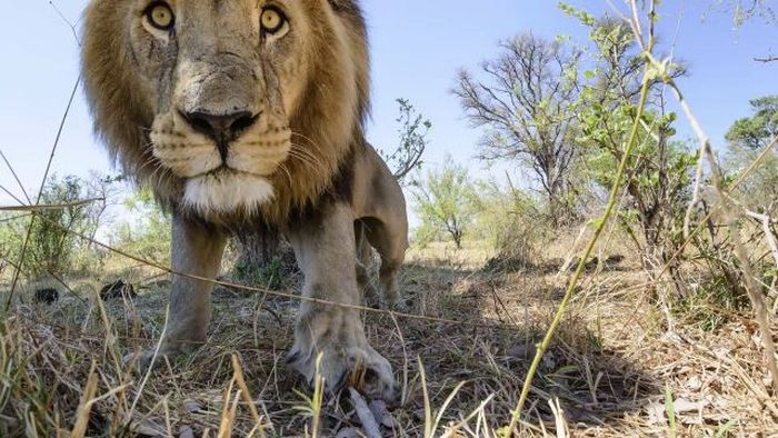 Lion Close-Up Photos (22 pics + video)