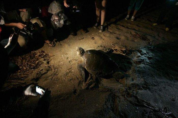 Turtles Rescue (11 pics)