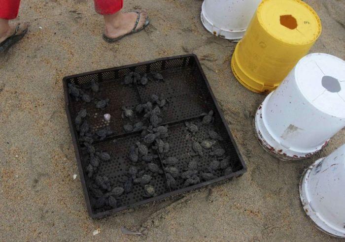 Turtles Rescue (11 pics)