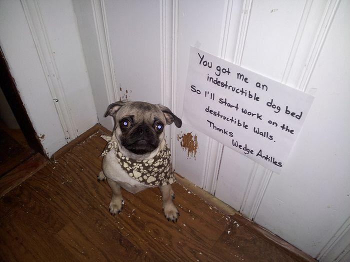 Pug Shaming (23 pics)