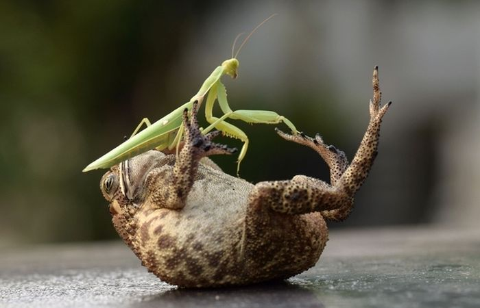 Toad Gets Tickled by a Praying Mantis (4 pics)