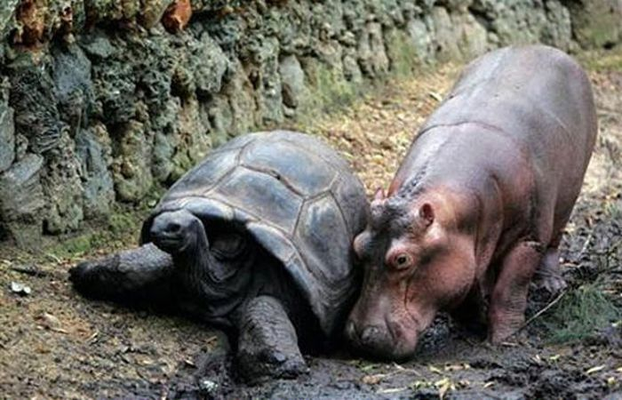 Orphan Hippo and His 130-Year-Old Friend (8 pics)