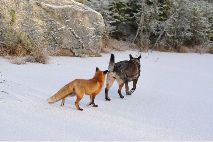 Fox and Dog (10 pics)