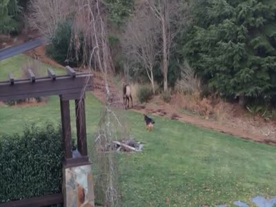 Elk Playing With Dog in the Backyard