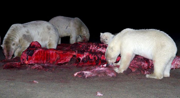 Bloody Polar Bears (21 pics)