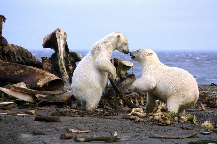 Bloody Polar Bears (21 pics)