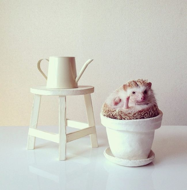 Darcy The Flying Hedgehog (40 pics)