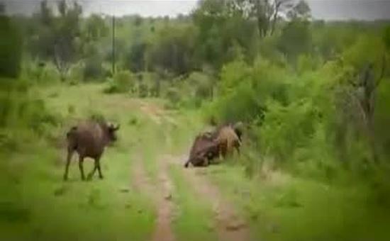 Buffalo Throws a Lion Away