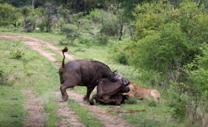 Lion vs Buffalo (12 pics)