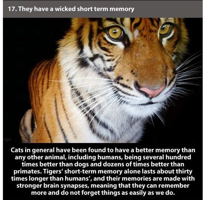 Facts about Tigers (24 pics)